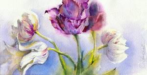 White and purple tulips