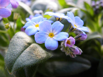Forget me not by Gwalis