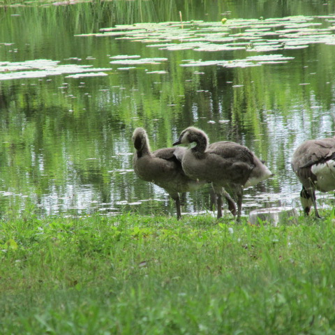 Hello Goslings by A-Fox-Of-Fiction