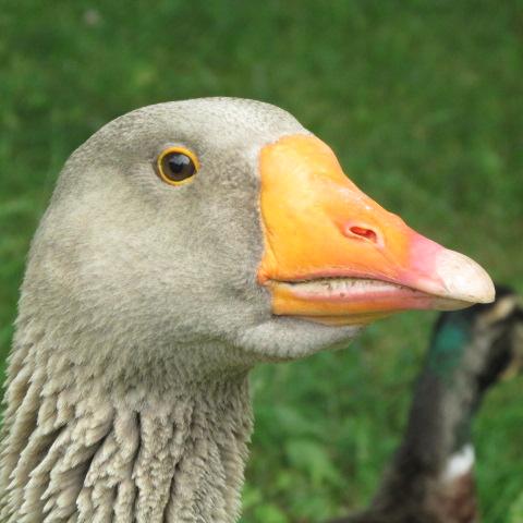 Goosezilla Closeup by A-Fox-Of-Fiction