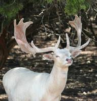 White Deer by idnurse41