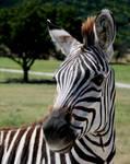 Zebra stock II