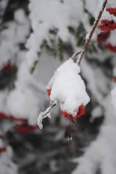 Frozen Berries (Close Up)