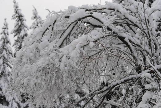 Heavy with Snow