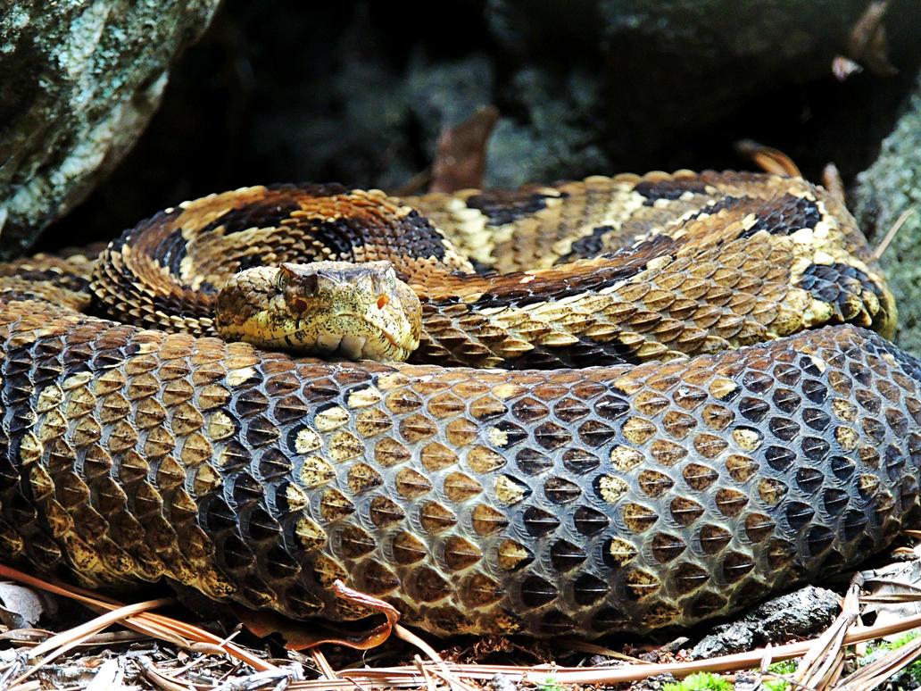 Rattlesnake 01 by TemariAtaje