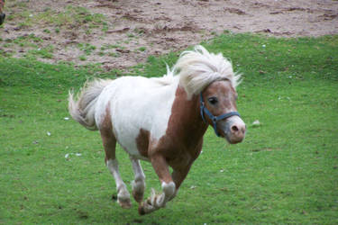 Miniature horse by canadianman000