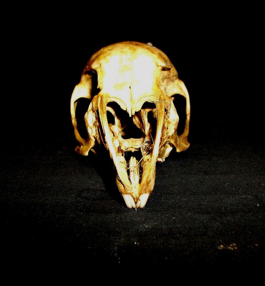 Rodent Skull by joshuadobson