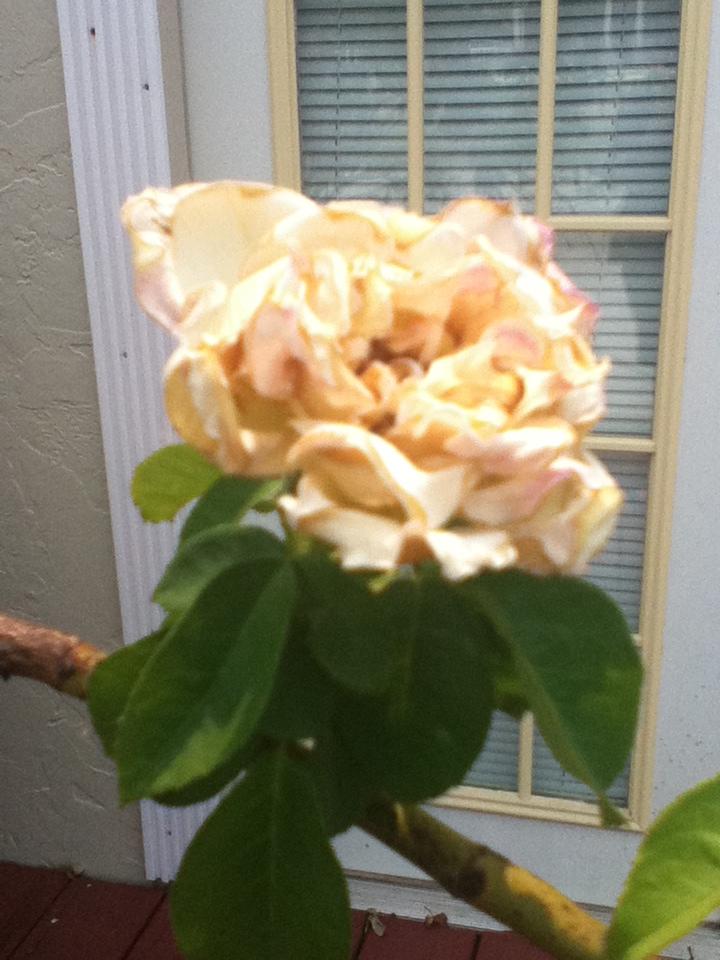 pink rose by flameingrosebud