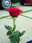 red rose 6