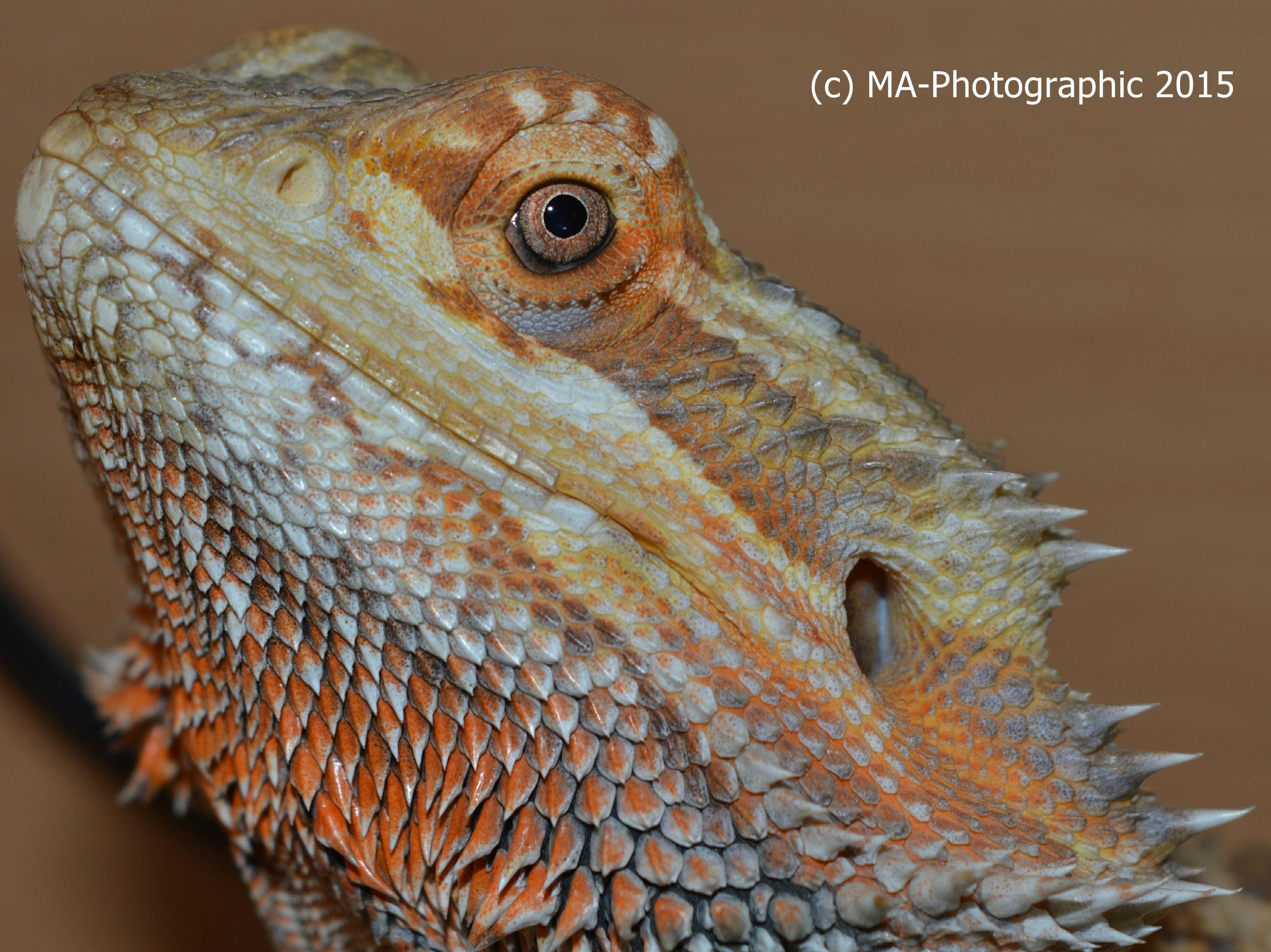 My pet Dragon Fletch!! by MA-PHOTOGRAPHIC