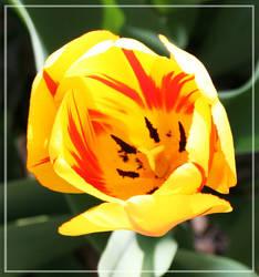 Tulip by wistine