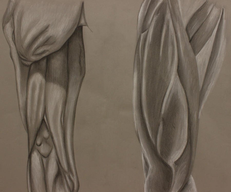 Anterior And Posterior Thigh Muscle Study By Amymuffin34 On Deviantart