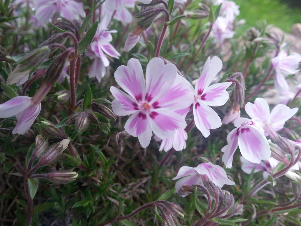 phlox chat sites Phlox paniculata, commonly known as garden phlox, is a native perennial that grows wild in woodlands and open fields and on cliffs its many cultivars are favorites for the home garden in a perennial bed, mixed border or partly shaded area.