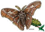 Rothschildia orizaba Moth