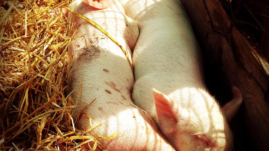 Moar baby pigs omg. by TheyCallDaWindMariah