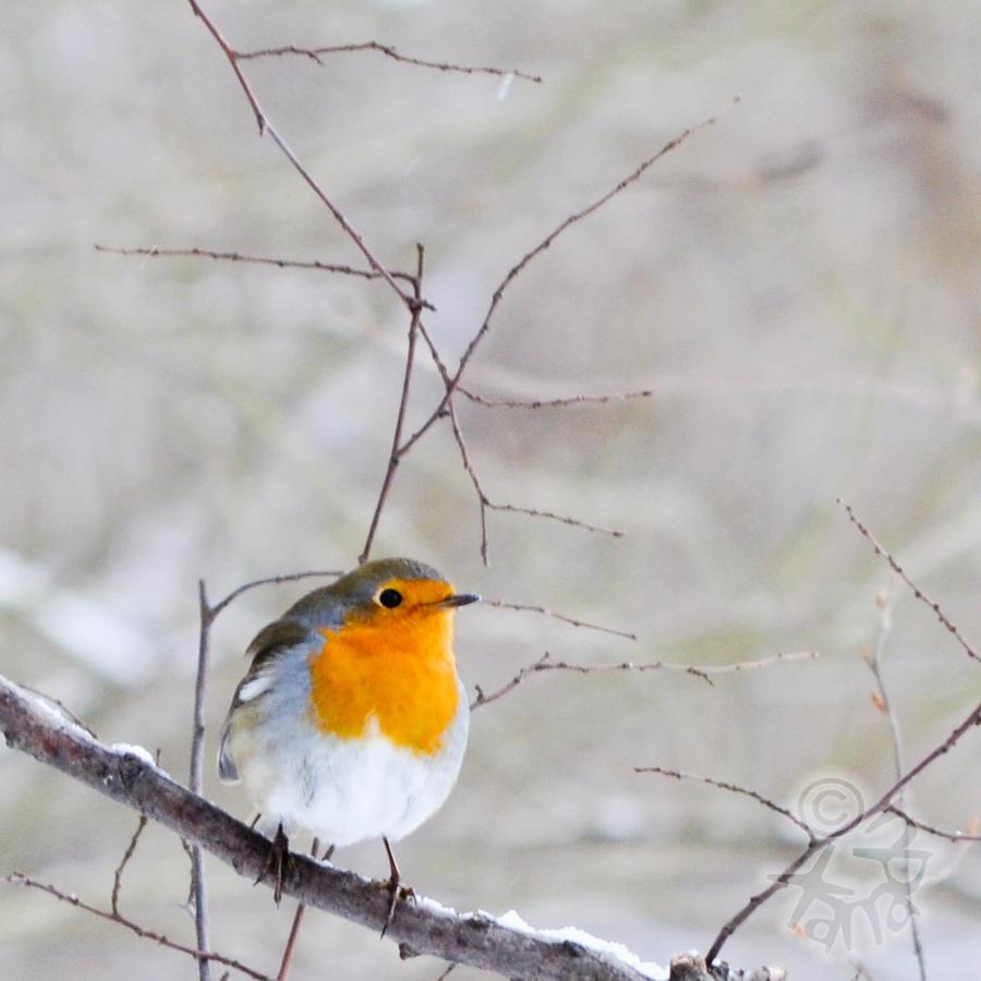 Robin by XanaduPhotography