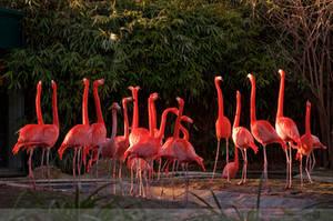 Flamingo chorus by XanaduPhotography