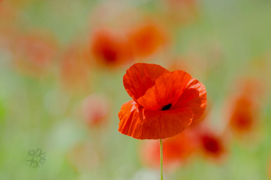 Poppy for Rozi by XanaduPhotography