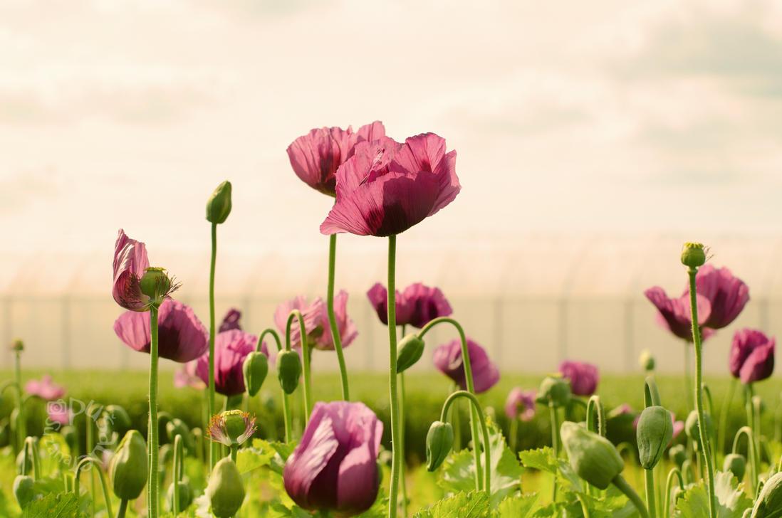 Poppies on the Horizon by XanaduPhotography