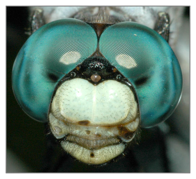 Dragonfly Portrait by microcosmos
