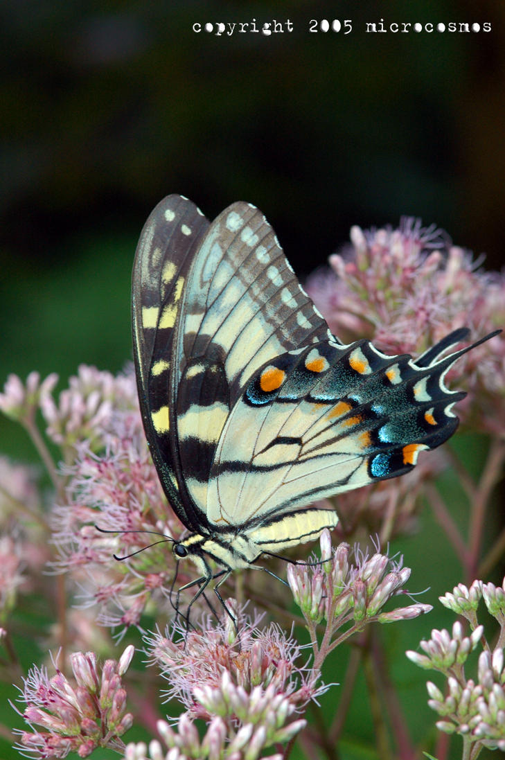 Eastern Tiger Swallowtail 2 by microcosmos