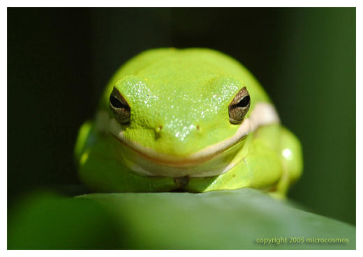 Green tree frog, Hyla Cinerea by microcosmos