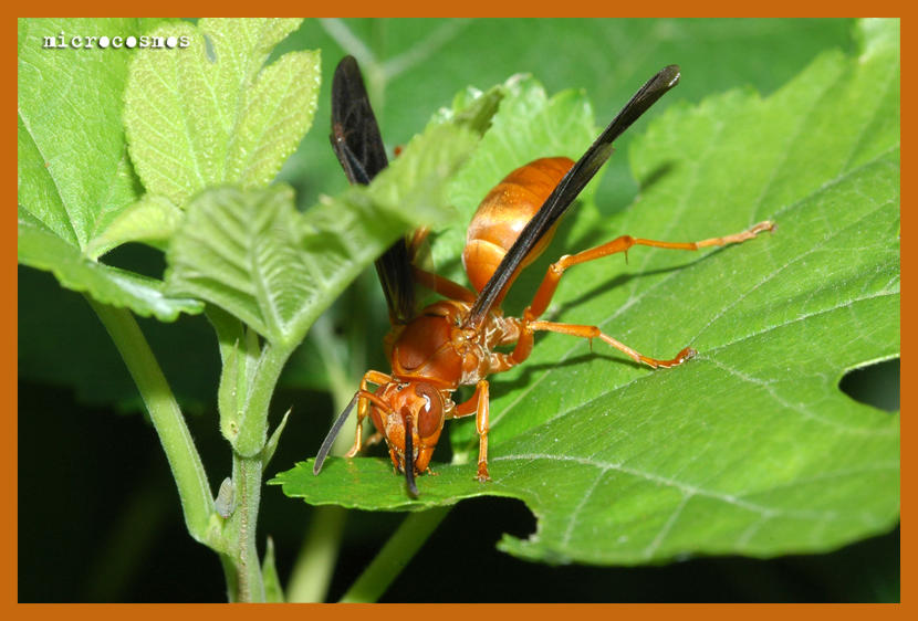 Paper Wasp by microcosmos