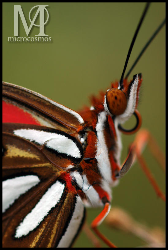 Gulf Fritillary Butterfly II by microcosmos