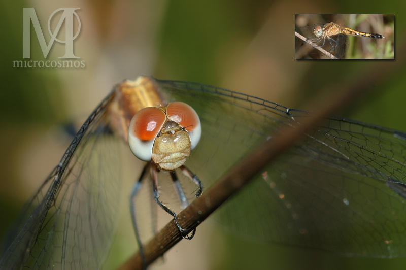 Gold Dragonfly by microcosmos