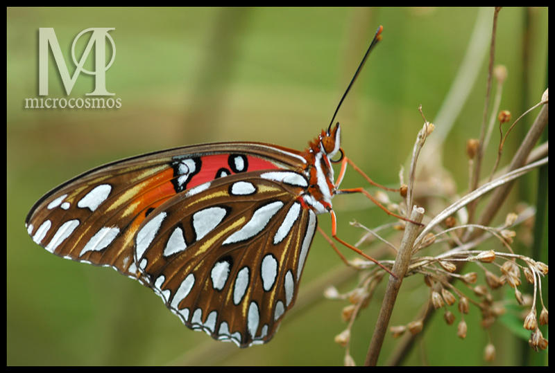 Gulf Fritillary Butterfly III by microcosmos