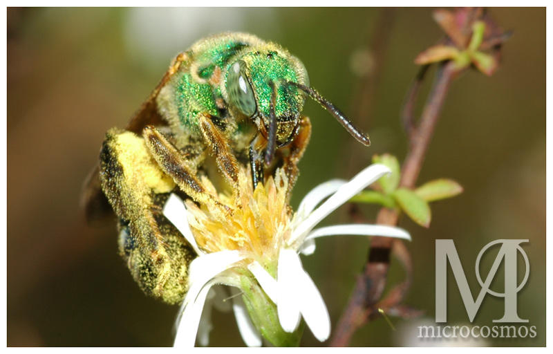 Green Bee - Halictid by microcosmos