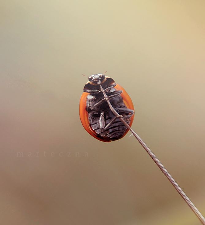 Ladybird 7 by marteczna