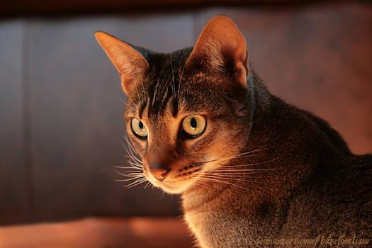 Nebby the Savannah Cat