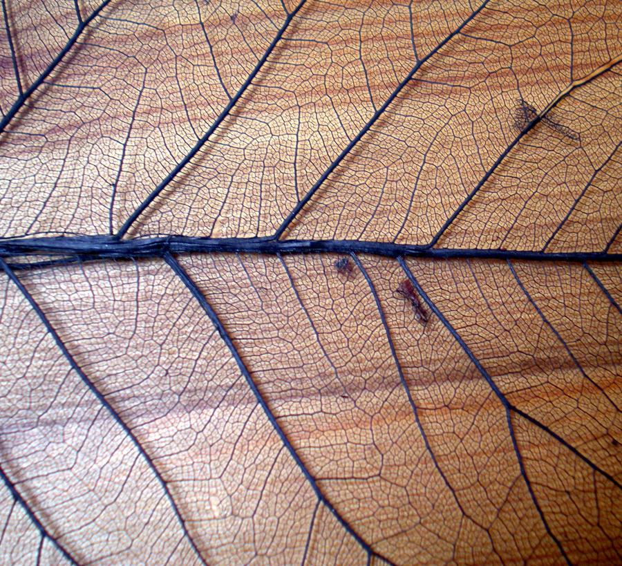 Stock Texture - Leaf Veins I