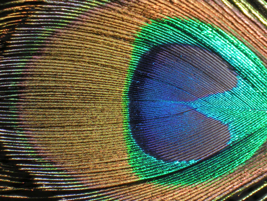 Stock Texture- Peacock Feather by rockgem