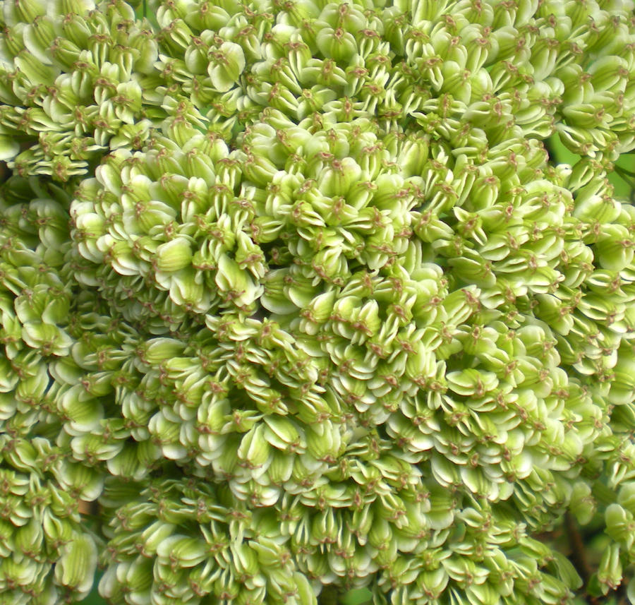 Stock Texture -Green Seedheads by rockgem