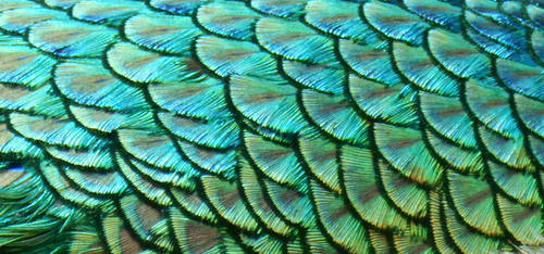 Stock Texture - Peacock Feathers