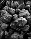 Botanical details (black and white) XXVIII