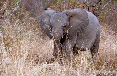 Baby Elephant by Lauren-Paikin