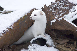 Weasel by caina