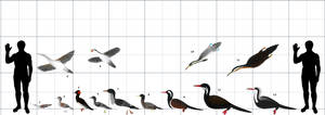 Hesperornithes size chart