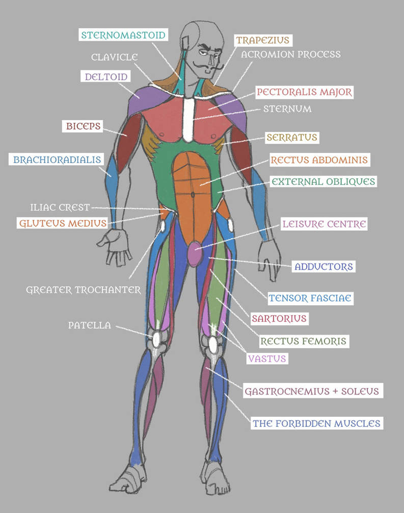 Human Anatomy Muscles With Labels By Pseudolonewolf On Wiring Diagram