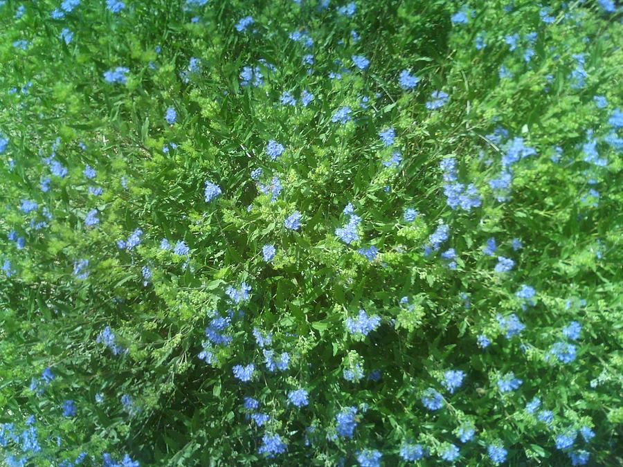 Blue flower bush by gbrumle on deviantart for Blue flowering bush