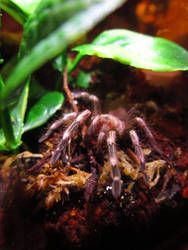 Baby Black and White Birdeater by SabrielDrakkan