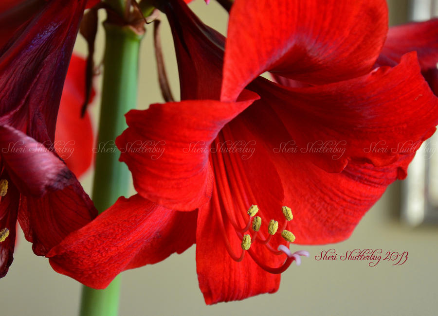 Lovely Amaryllis IV by Scooby777