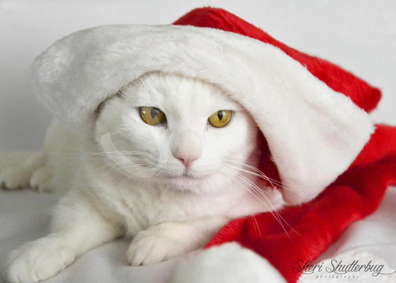 Meowy Christmas Everyone! by Scooby777