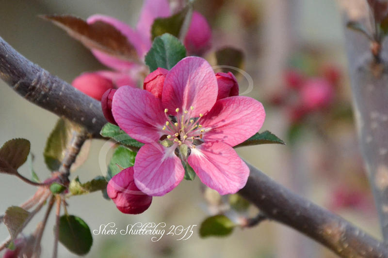 Peach Blossom II by Scooby777