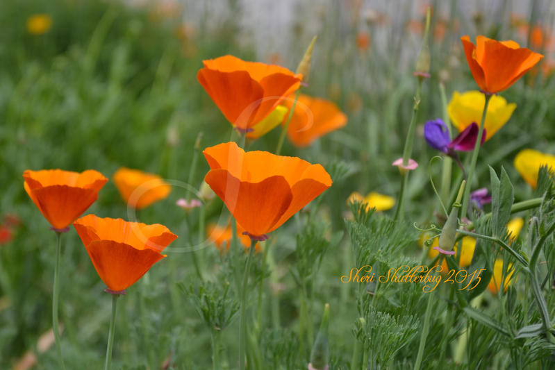 Pretty Poppies by Scooby777