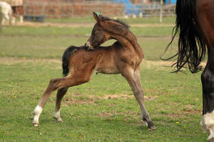 Foal stock 32 by Bundy-Stock