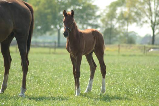 Foal stock 60
